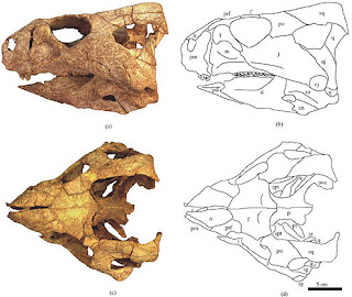 Auroraceratops skull