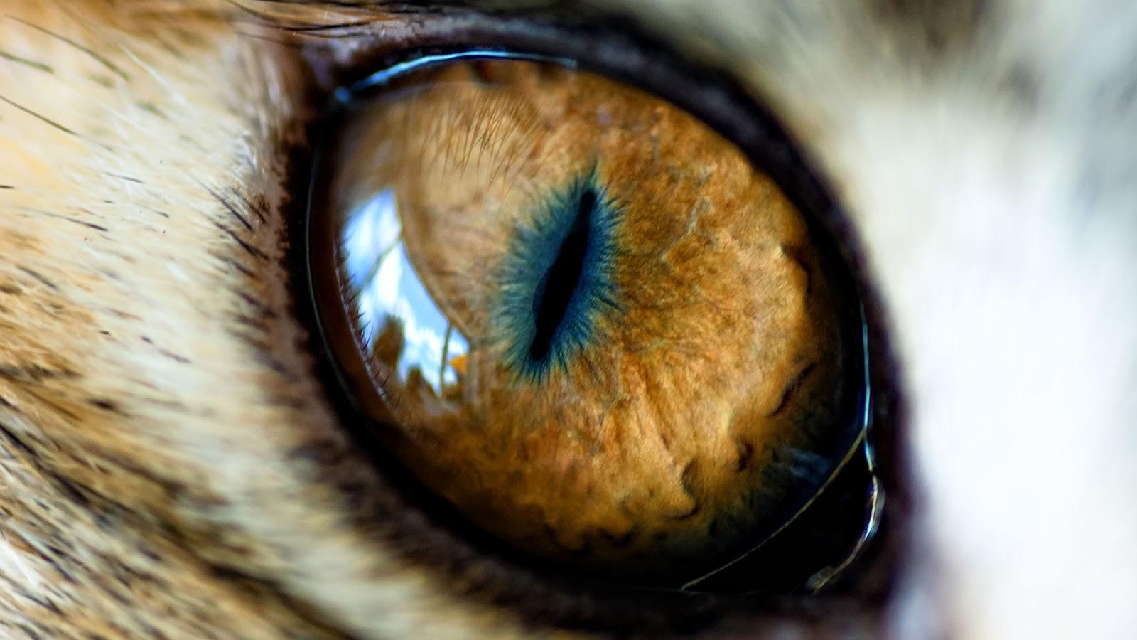 Gta 5 Car Wallpaper Cat eye,cat, wild anim...