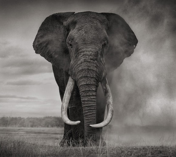 His photography bears little relation to the colour documentary style wildlife photography that is the norm he photographs on medium format black and white