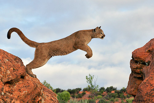 Cougar   Wildlife Info and PhotosPuma Animal Jumping