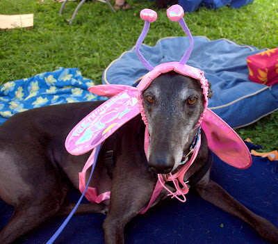 Bettina greyhound madame butterfly