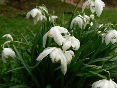 Some of the numerous snowdrops I saw in the grounds of Fountains Abbey