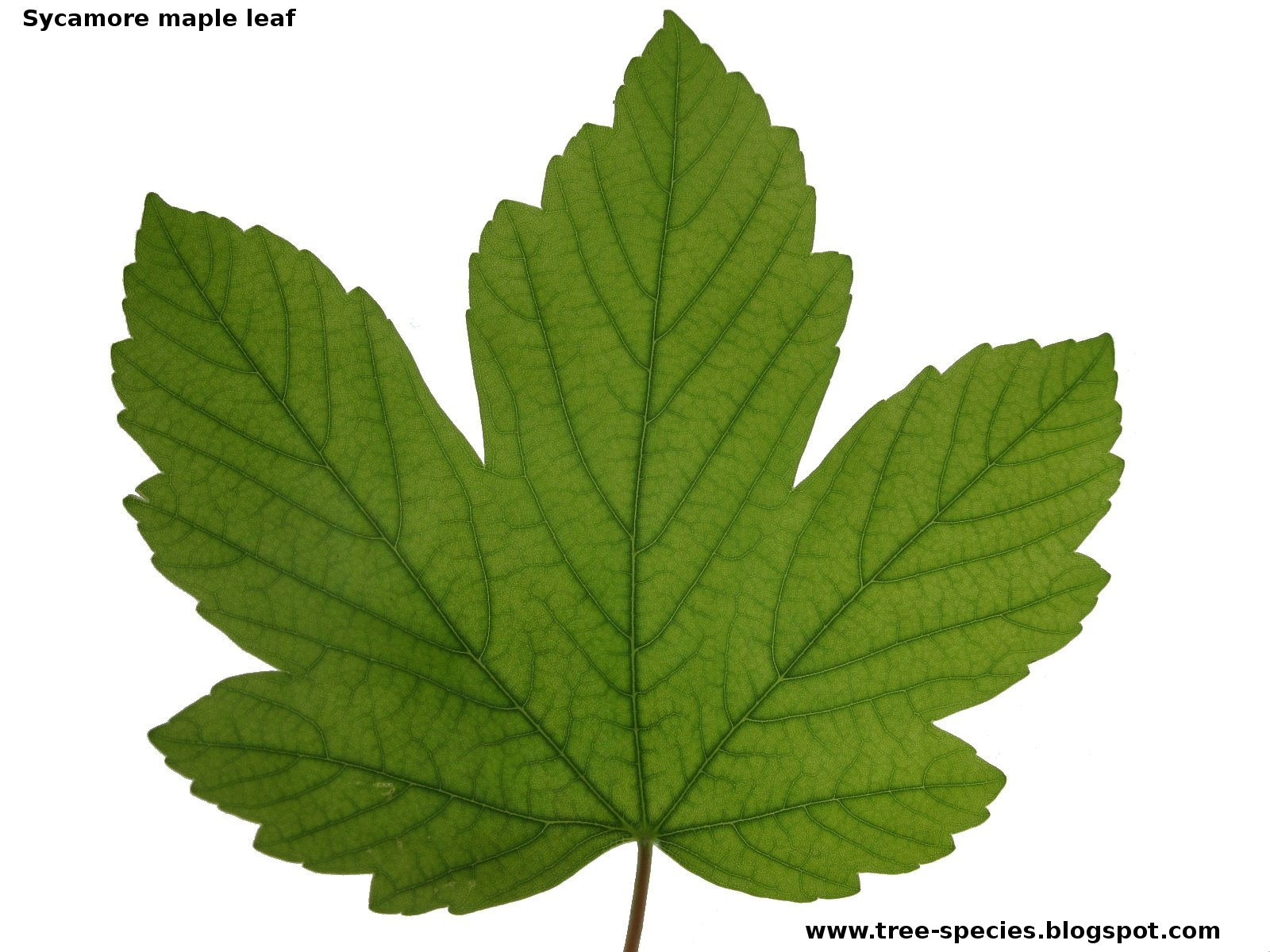 Maple Leaf vs Sycamore Leaf Sycamore Maple Leaf
