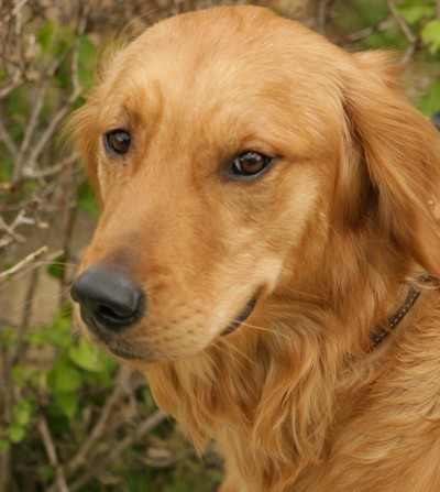 Puppies Breeds on Golden Retriever Dog Breeds   Popular Dog Breeds