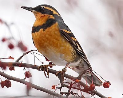 Varied Thrush