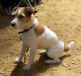 Jack Russell Terrier Puppy Pictures
