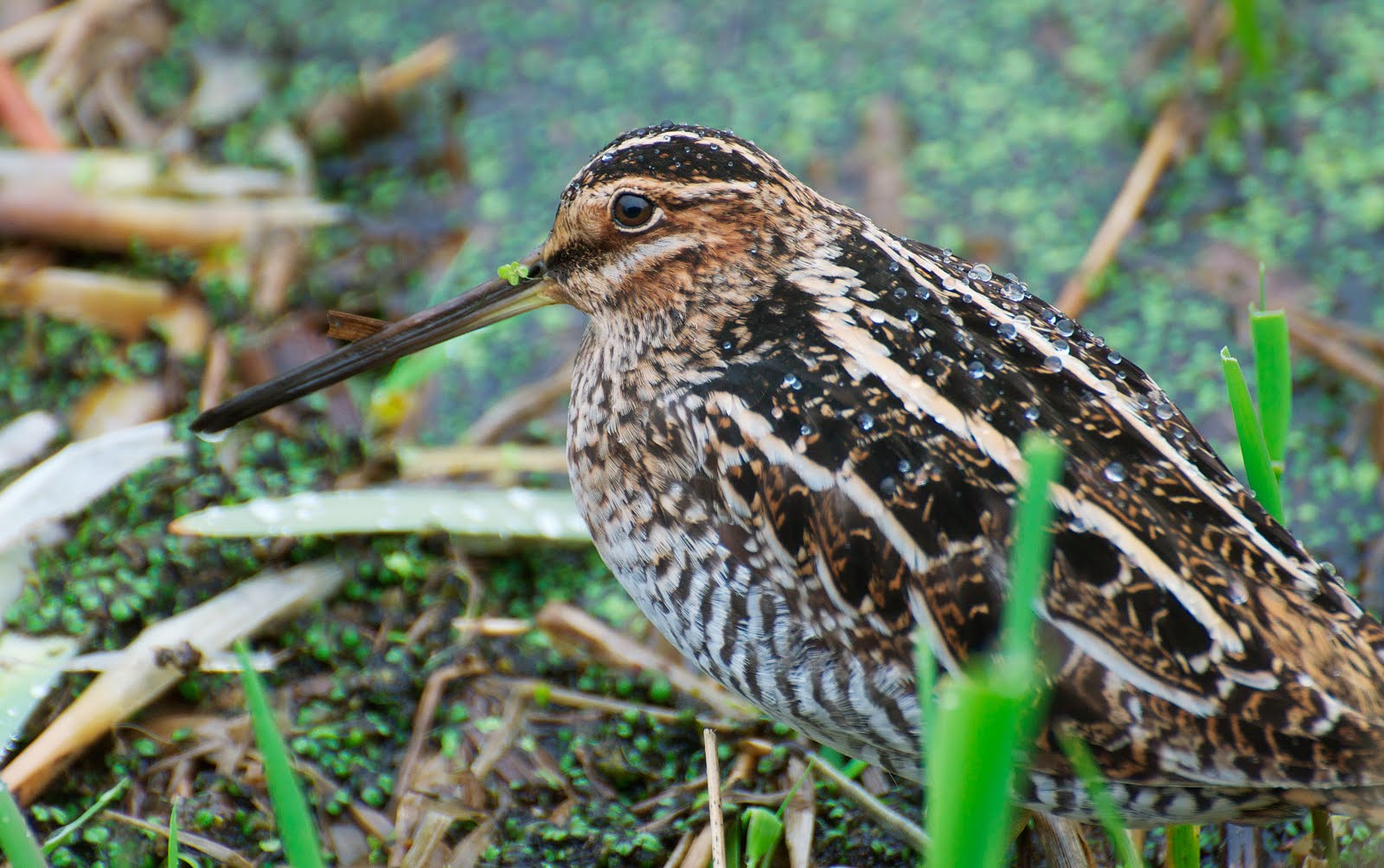 Lathams Snipe  BirdLife Australia
