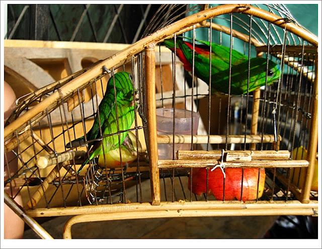 Burung serindit muda yang masuk d