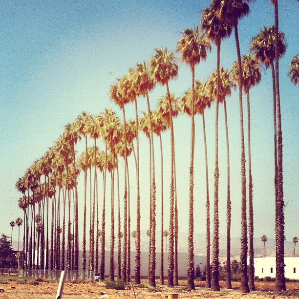 rows of palm trees
