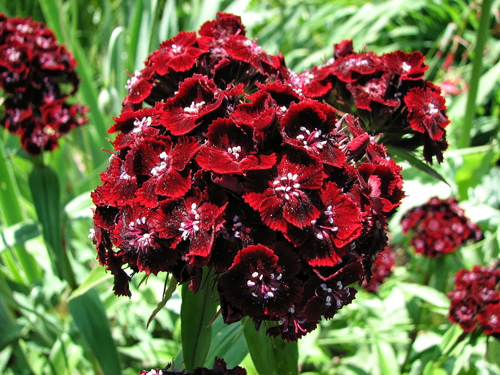Flower Homes Dianthus Barbatus Flowers
