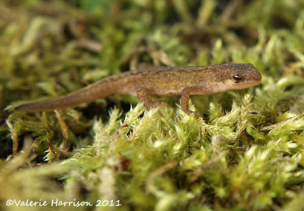 Late April Visitors To Our Garden. Wee Newt