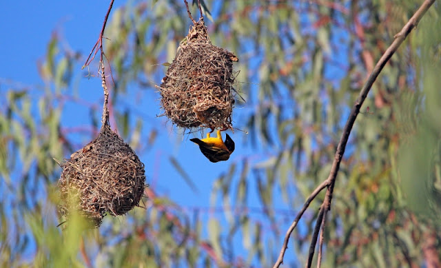Village Weaver nest