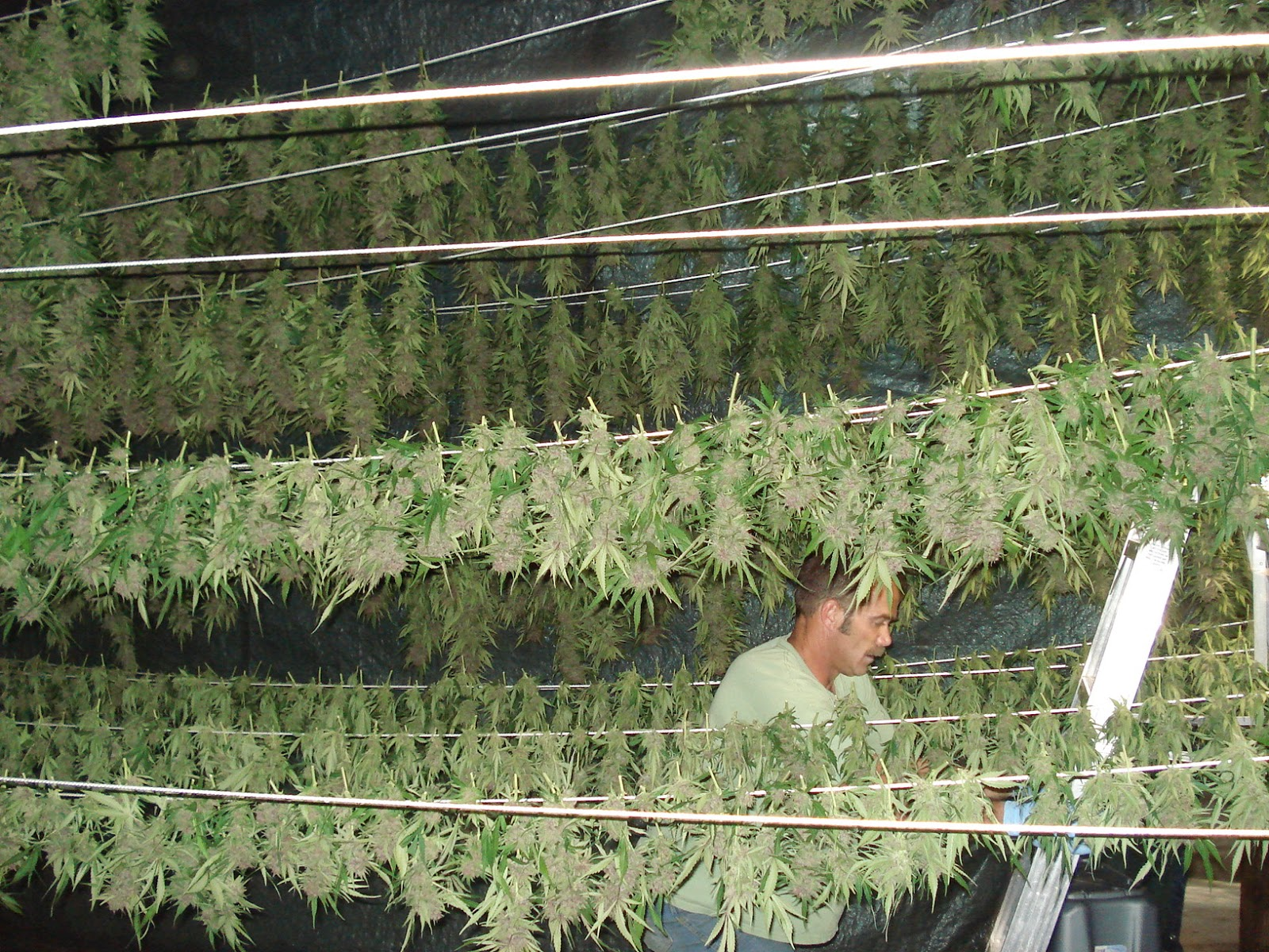 Drying And Curing ~ Green smoke drying and curing your weed