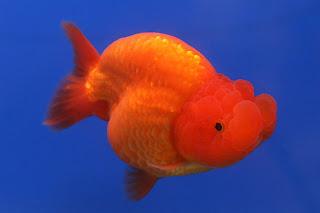 golden-fish-ranchu