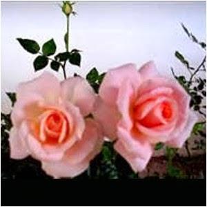 Bunga Mawar Rosanda