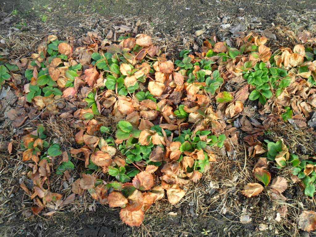 Как правильно посадить и ухаживать за земляникой