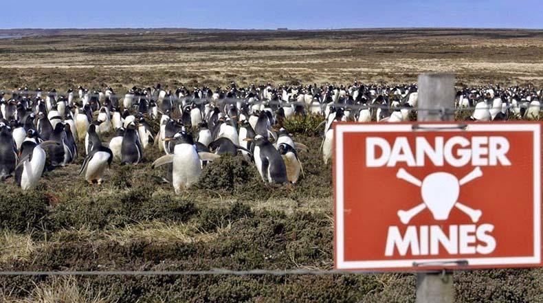 La población de pingüinos que viven en los campos de minas de las Islas Malvinas