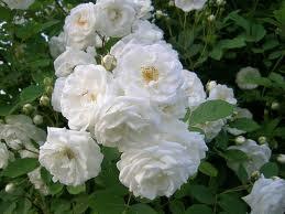 gambar bunga melati-2