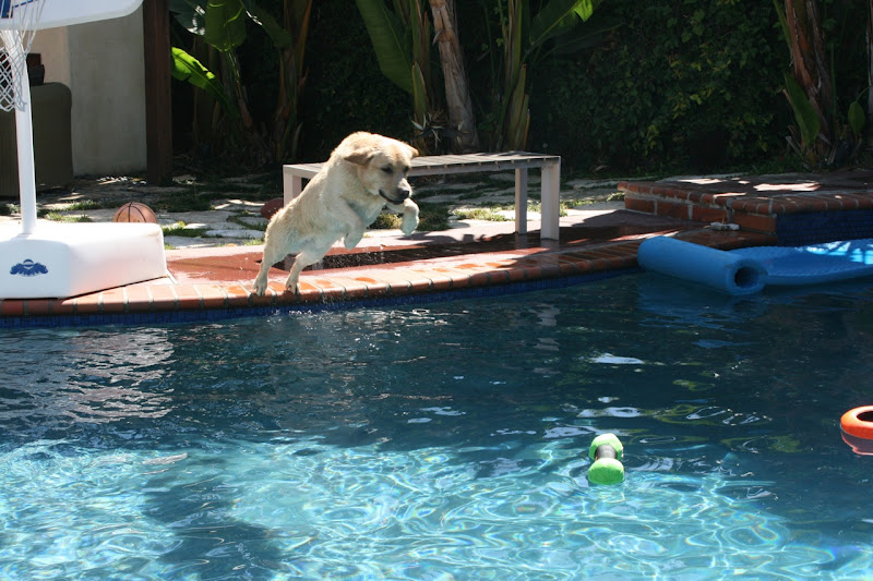 Labrador Cooper pool dive