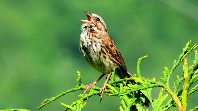 Song Sparrow Singing its Song