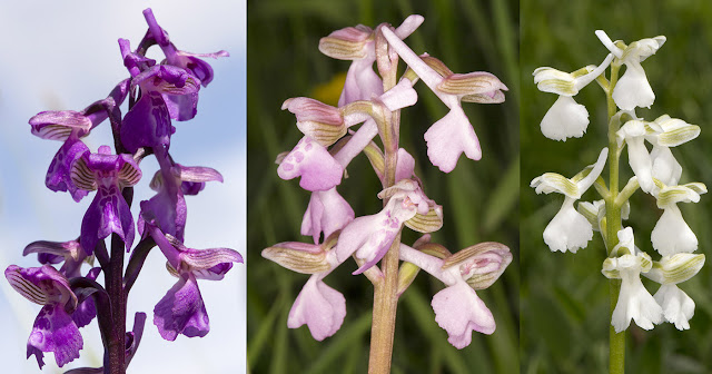 Green-winged Orchid, Anacamptis (Orchis) morio.  Purple, pink and white specimens.  Marden Meadow with the Orpington Field Club, 25 May 2013.