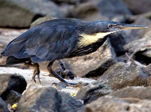 Indian birds - Black bittern - Ixobrychus flavicollis