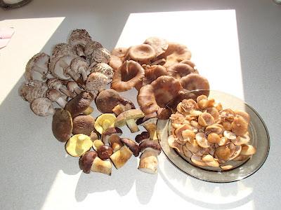 Grzyby w październiku, grzybobranie w okolicach Krakowa, Las Bronaczowa, jesienny spacer, podgrzybek złotawy, Xerocomus chrysenteron, czubajka czerwieniejąca - Macrolepiota rachodes,  łuszczak zmienny Kuehneromyces mutabilis, pierścieniak grynszpanowy, Stropharia aeruginosa, łycznik późny Panellus serotinus, muchomor czerwony, Amanita muscaria, Wrośniak różnobarwny, Trametes versicolor, Łysiczka ceglasta [Maślanka ceglasta] Hypholoma sublateritium,  Dzieżka pomarańczowa Aleuria aurantia