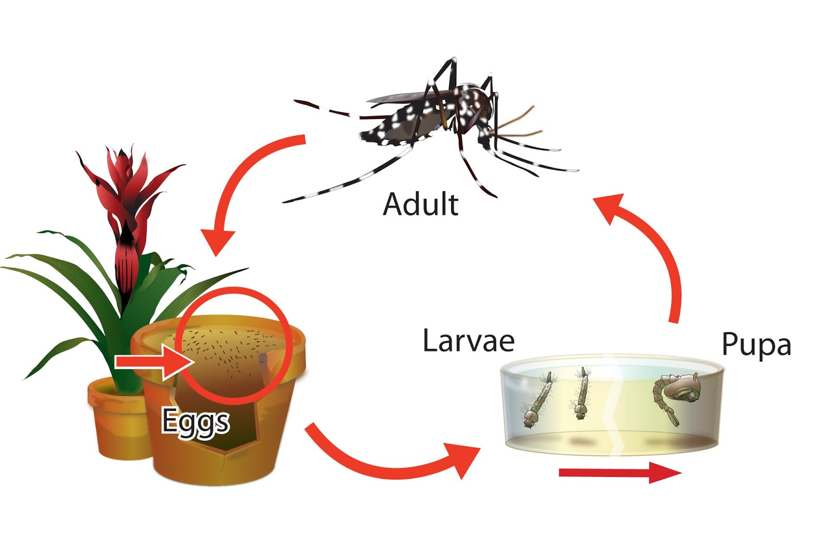 dengue life cycle