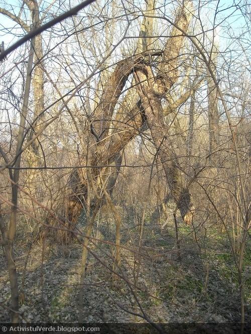 Un copac frânt de furtuna de anul trecut