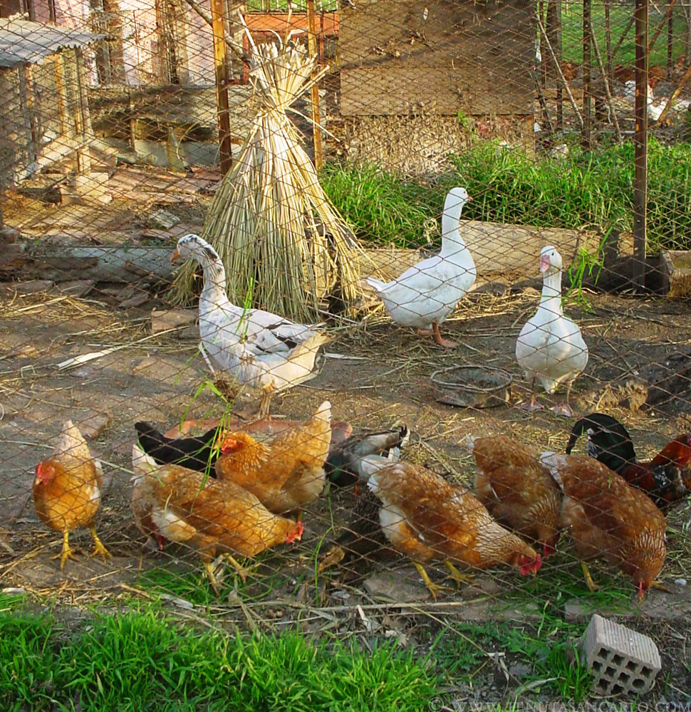 Old school in bulgaria what animals should i get straight for Can ducks and chickens share a coop