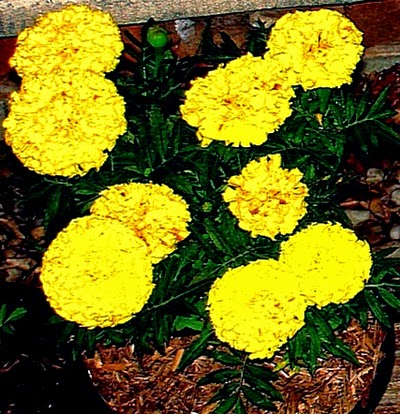 Yellow Marigold Flower plant with  mulch