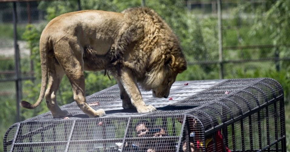 Tem coragem de fazer cosquinha na barriga do leão