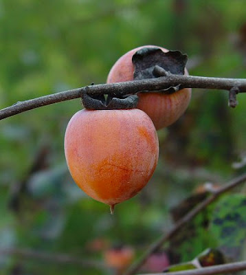 Its fruit and wood since prehistoric times by native americans