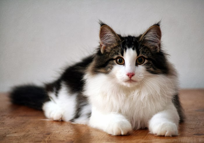 Health Problems in Norwegian Forest Cats