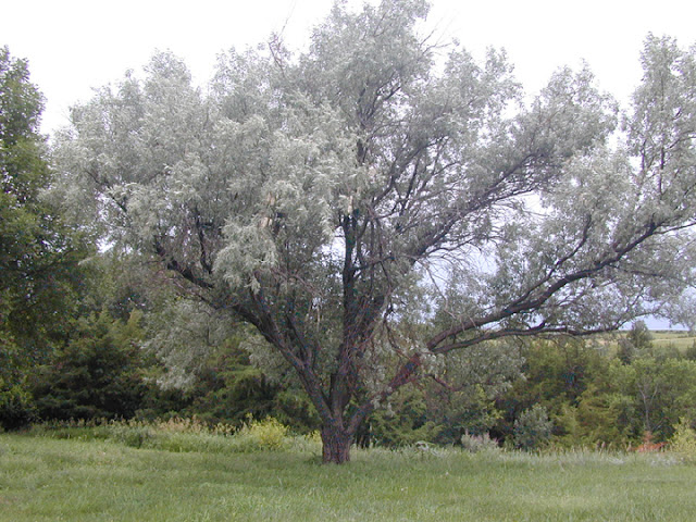 Arte y jardiner a arbol del para so eleagnus angustifolia for Arboles jardineria