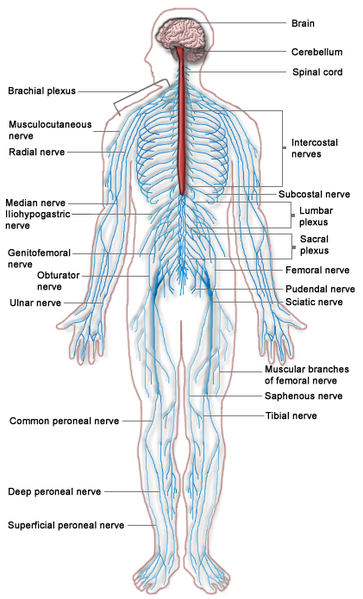 New Voice New Career Anatomy And Physiology Series The Peripheral