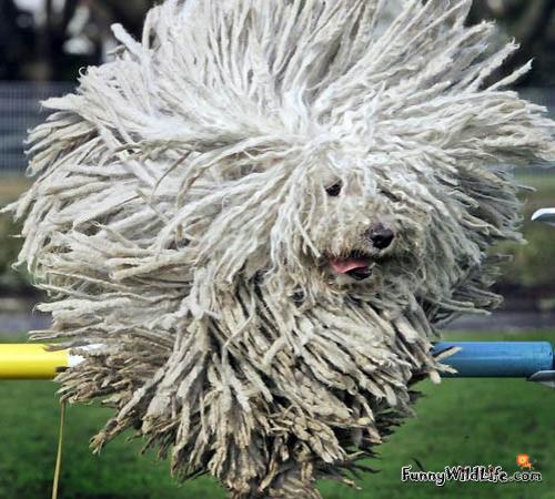 funny animals funny komondor dog komondor dog