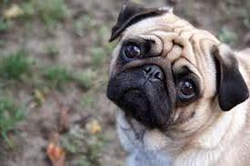 Jenis Anjing Pug