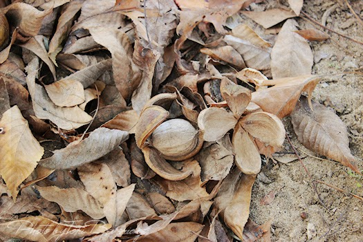 Hickory Nuts in Leaves Photo by Tori Beveridge