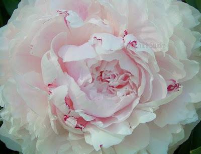 Pink Peony Photo
