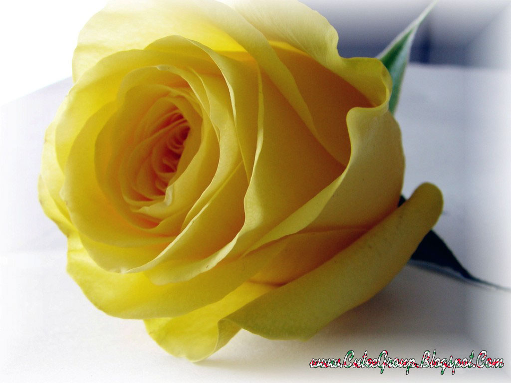 Cute roses wallpapers the world of fun cutee group - Yellow rose images hd ...