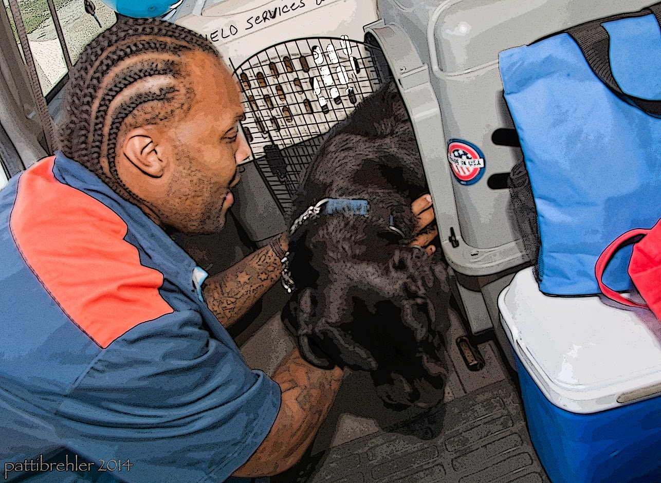 An african american man with corn rows in his hair and wearing the blue and orange prison shirt is backing a black lab into an airline crate. Both his hands are grabbing the dog's chest and the dog is looking down trying to come out. The man is looking at the dog.