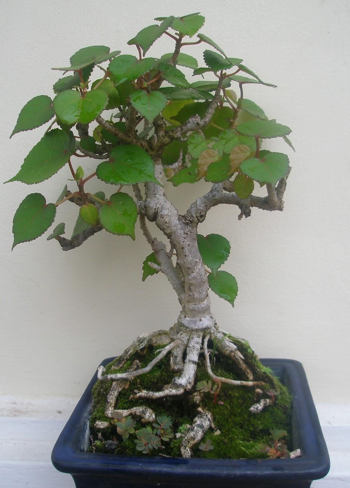 Art Hrbonsai Waru Hibiscus Tiliaceus