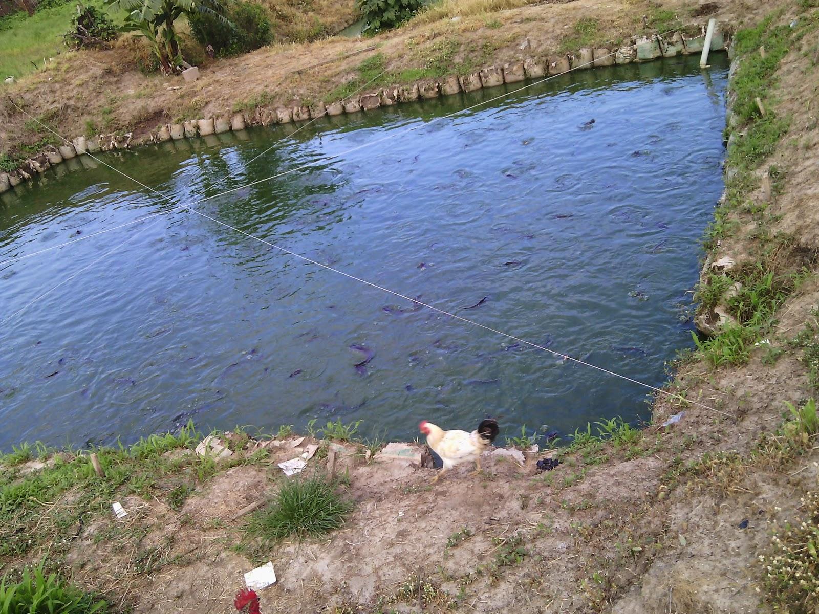 Fishfarm in nigeria driverlayer search engine for Fish pond business