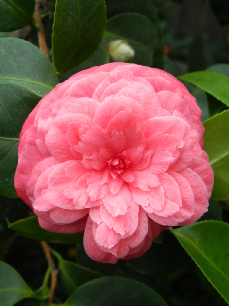 Pink camellia japonica Allan Gardens Conservatory Spring Flower Show 2013 by garden muses: a Toronto gardening blog