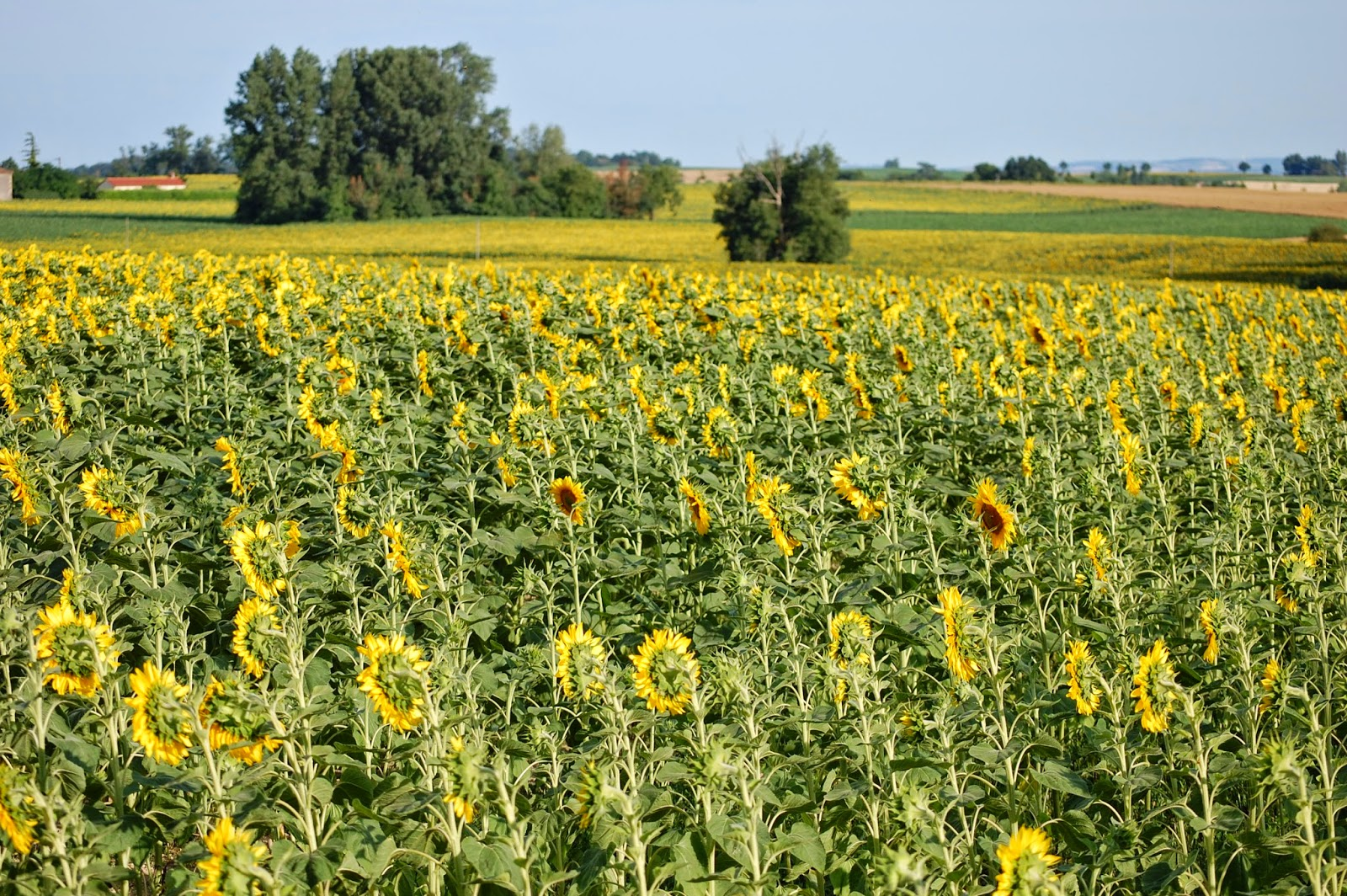 Sunflowers at the end of our road in Gascony