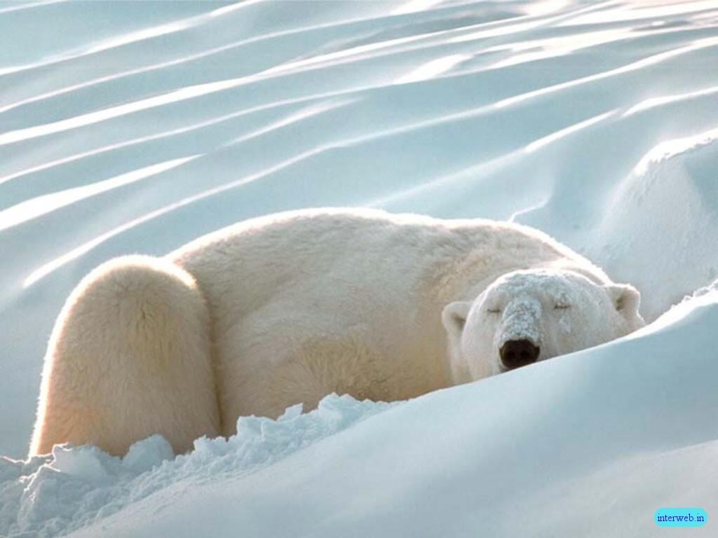 http://1.bp.blogspot.com/-UtiUG04xenA/TcGs_b_4K9I/AAAAAAAAB3k/PhDoDlYPqvk/s1600/polar_bear-4604.jpg
