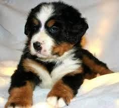 bernese dağ köpeği fiyat