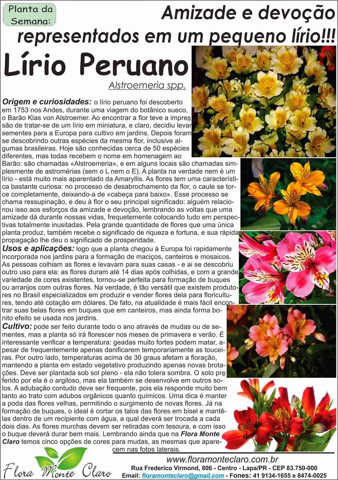 Alstroemeria Lirio Peruano