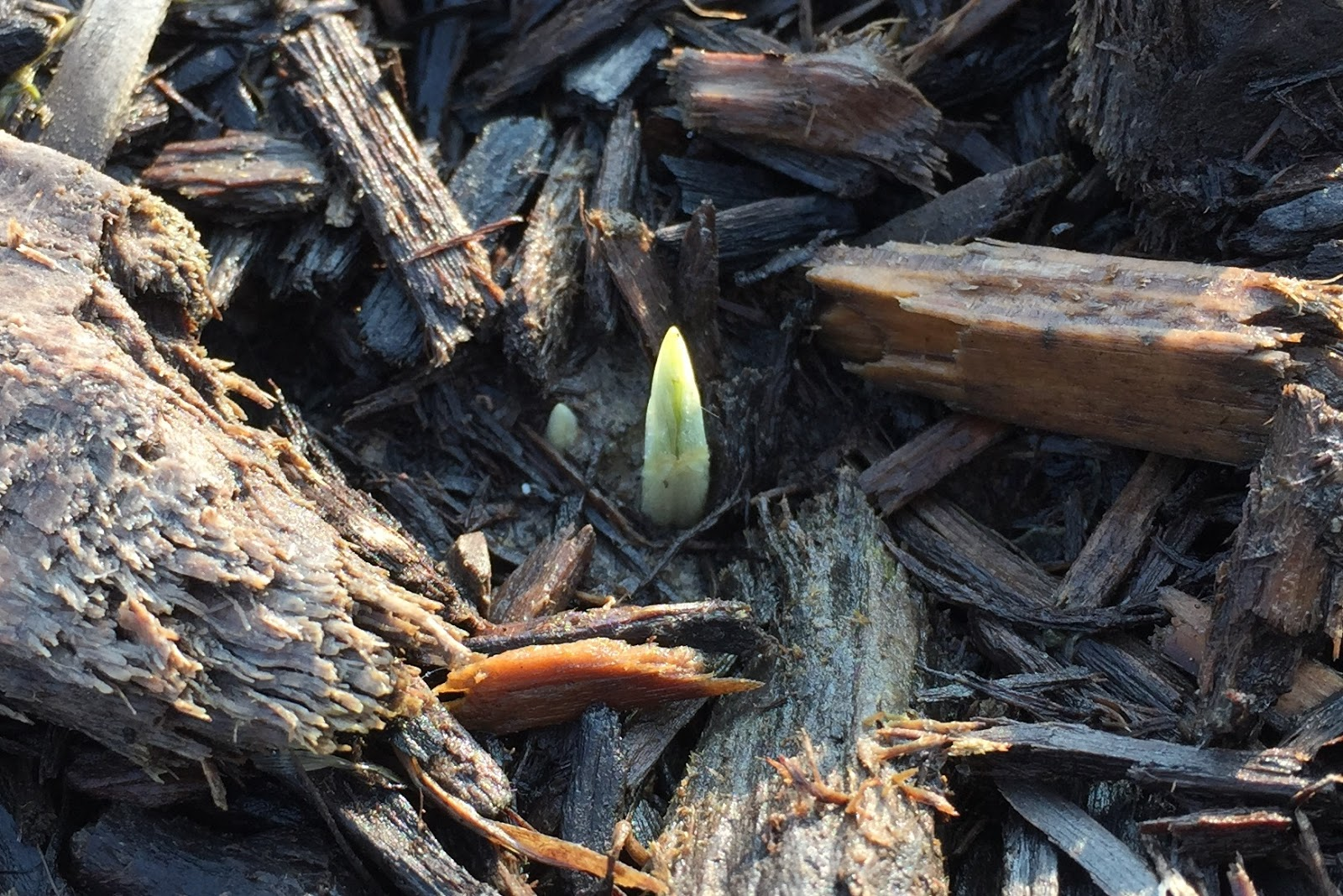 photo of crocus sprout